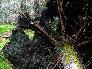image of an uprooted tree, mossy trunk and greenery surrounding it.